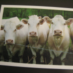 cows eco-friendly postcards