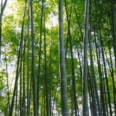 Beautiful and peaceful bamboo forest