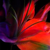 Abstract Red Lily Photo