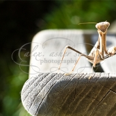 mantis, insect, nature, bug