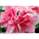 Peony by ShaneKelleyPhotography.com