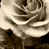 Sepia Roses Photograph