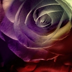 dark rose photograph