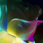 Rose Abstract Photo