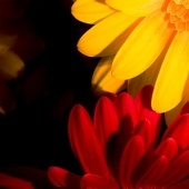 Night Daisies Photograph